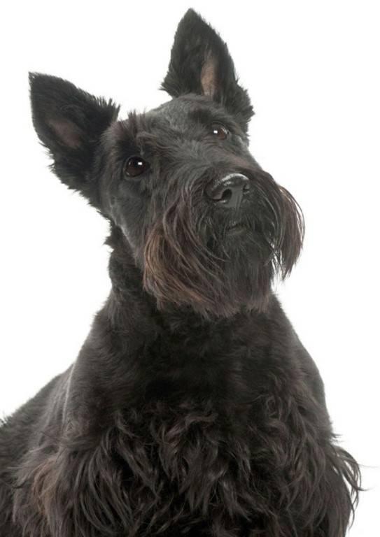Скотч-терьер: происхождение породы и описание характера, как владельцу воспитывать и ухаживать за собакой