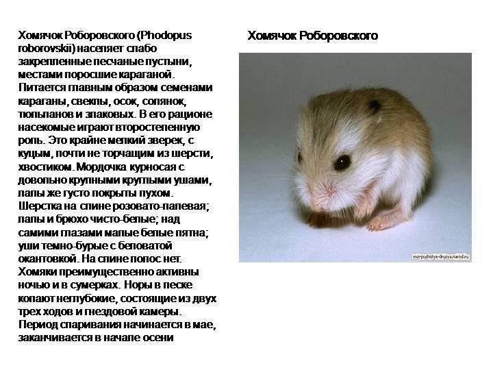 Дикий хомяк: фото и описание вида, меры борьбы и защиты на дача русский фермер