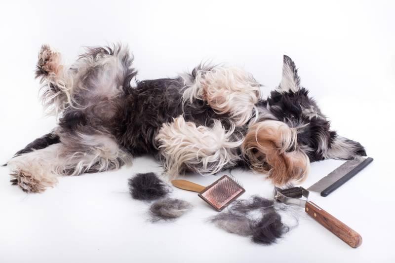 Линька у собак – время, сколько длится, советы и рекомендации