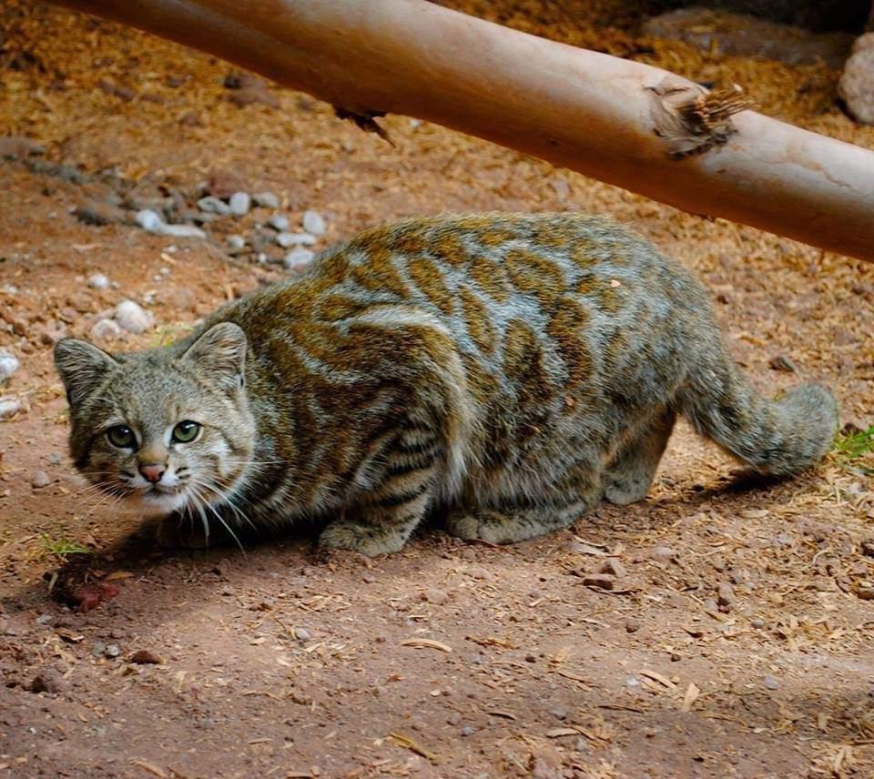 Китайская кошка: описание породы, характер, советы по содержанию и уходу, фото
