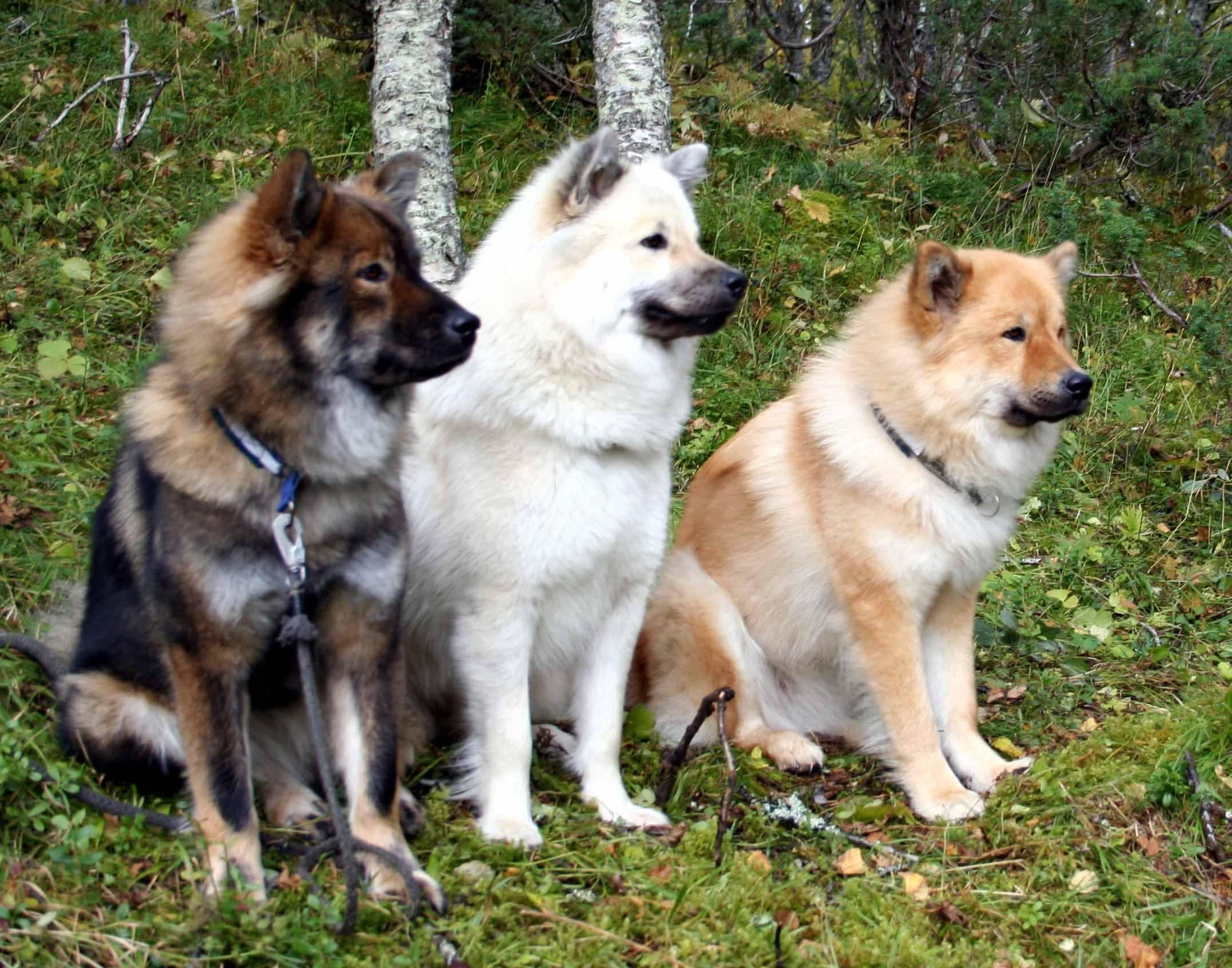 Карело — финская лайка или финский шпиц, описание породы, характер, цена и фото щенков