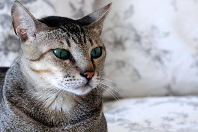 Аравийский мау: фото и описание породы кошек (характер, уход и кормление)