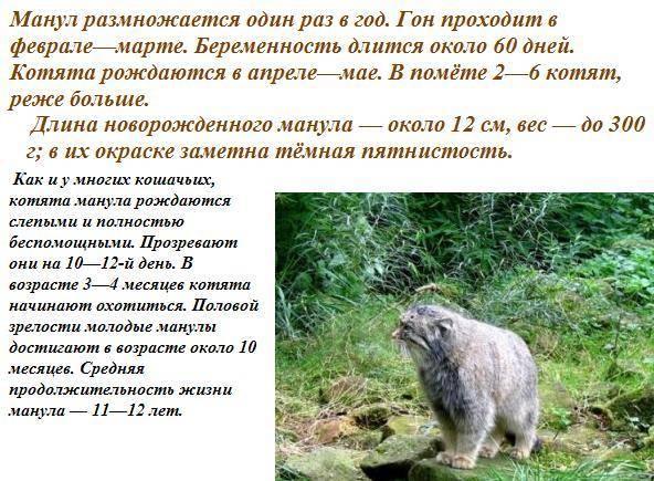 Дикая кошка манул (палласов кот): фото, описание породы, цена