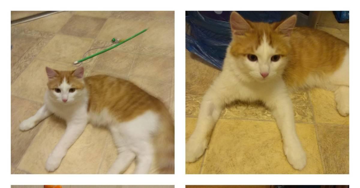 Бывают ли рыжие кошки или только коты - kotiko.ru