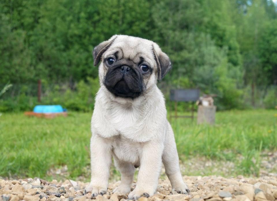 Мопс: фото и картинки собак, цена щенков (сколько стоит порода), описание - сколько живут, чем кормить, уход и содержание, отзывы владельцев, а также о черном окрасе