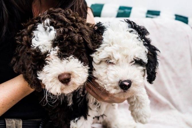 Большая собака для всей семьи – испанский мастиф