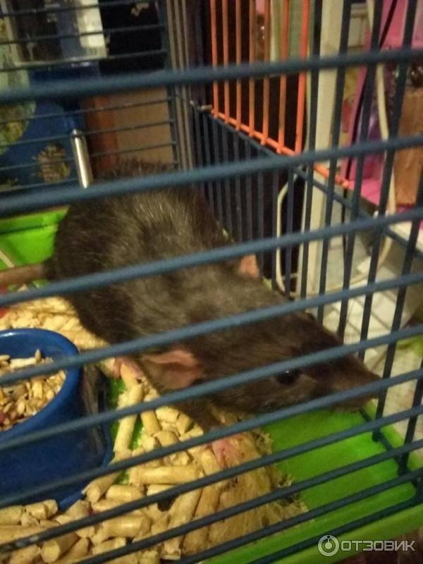 Домашняя декоративная крыса: уход и содержание в домашних условиях (фото)