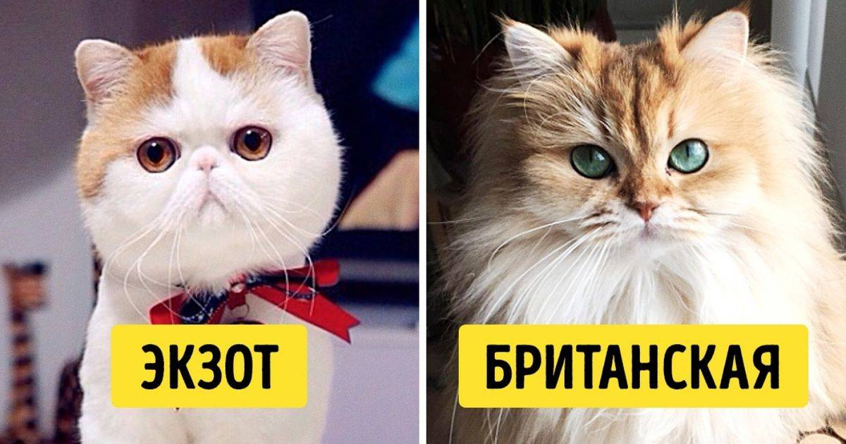 Самые умные кошки — рейтинг пород по интеллекту