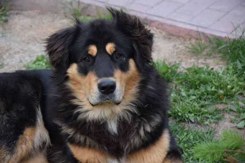 Бурят-монгольский волкодав: описание породы, характеристики и особенности