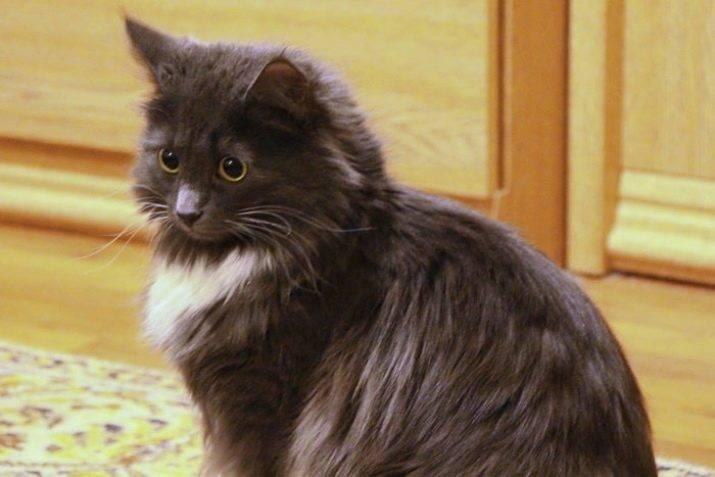 Шантильи-тиффани кошка. описание, особенности, уход и цена породы   животный мир
