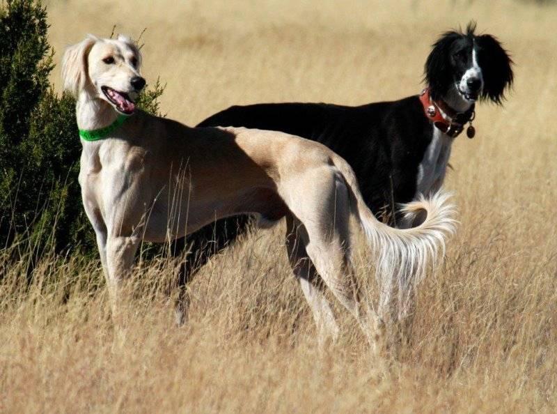 Типичные породы борзых собак: описание и фото представителей