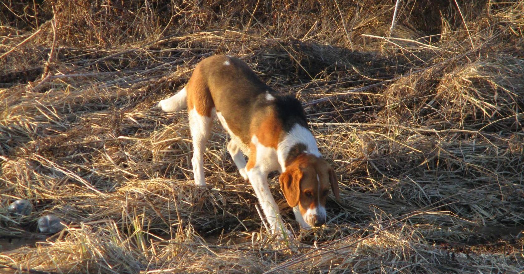 Охота с гончими собаками: на зайца, лису