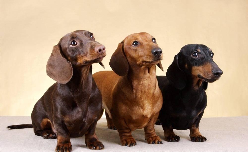 20 коричневых пород собак с названиями и фотографиями