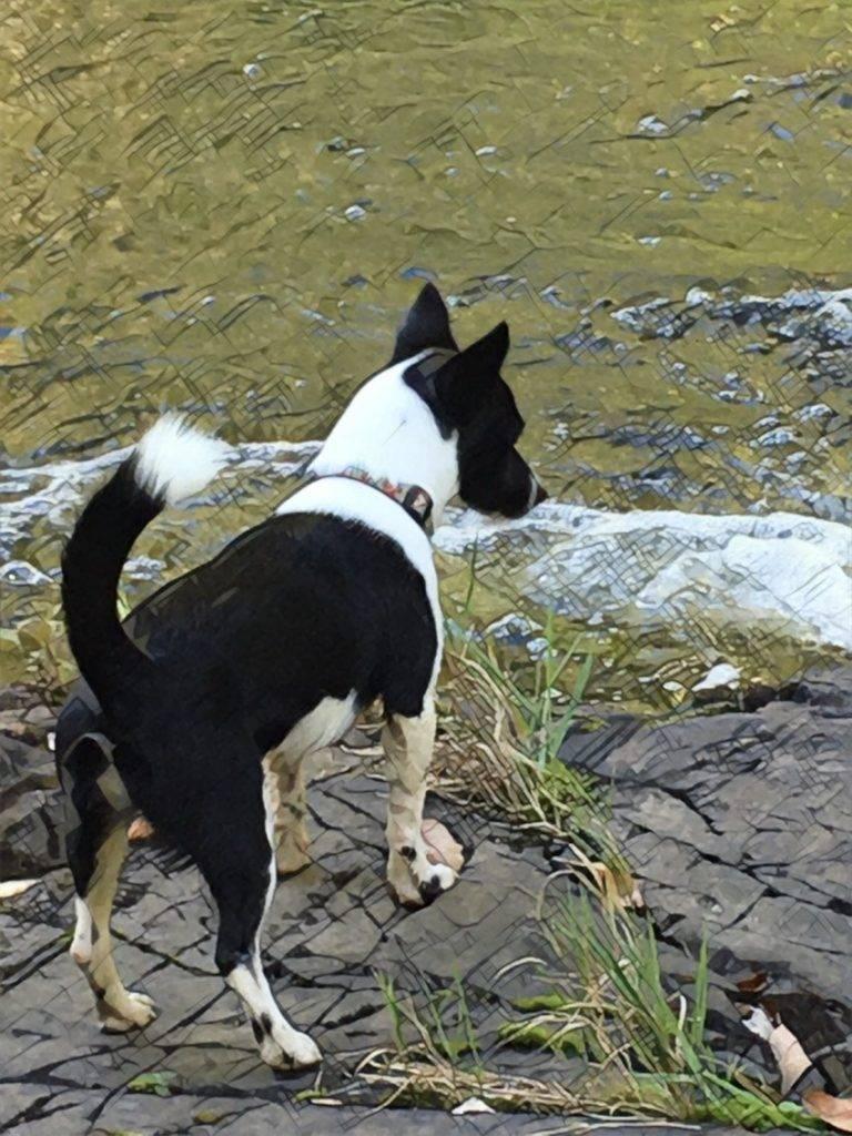 Медвежья карельская собака: описание породы и содержание
