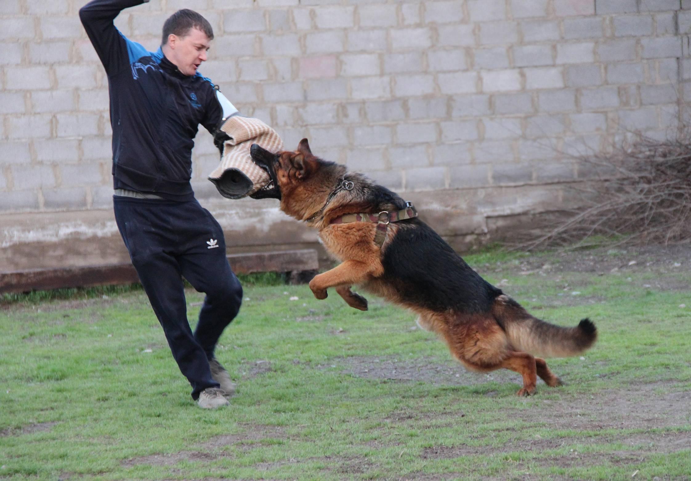 Дрессировка немецкой овчарки: обучение командам, тренировка и поощрение (фото и видео)