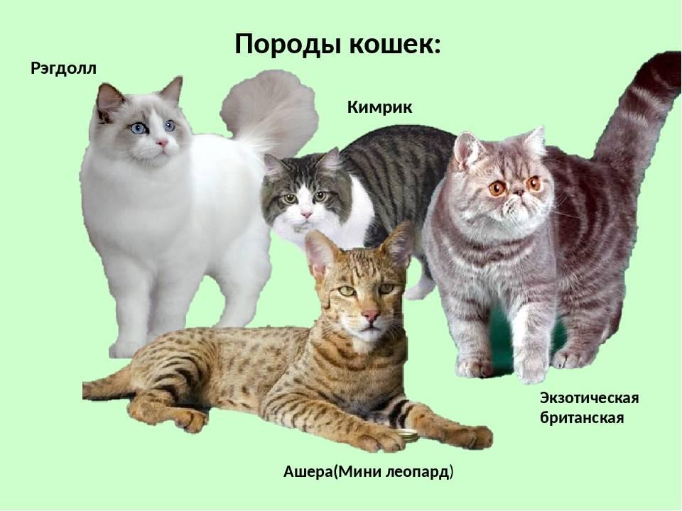 Все, что нужно знать о сомалийских кошках