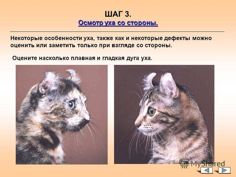 Американский кёрл (american curl) кошка: подробное описание, фото, купить, видео, цена, содержание дома
