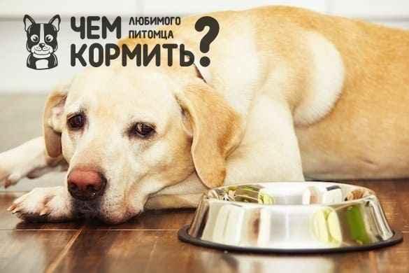 Чем кормить лабрадора в домашних условиях: кормление взрослой собаки и щенка, какой корм лучше