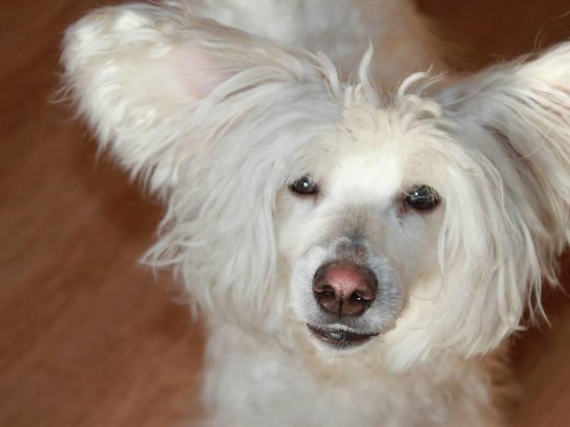 Ум и красота в одной собаке – маленькие китайцы
