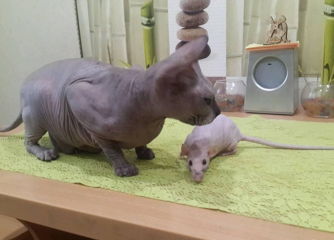 Декоративная крыса сфинкс (уход, содержание, питание)