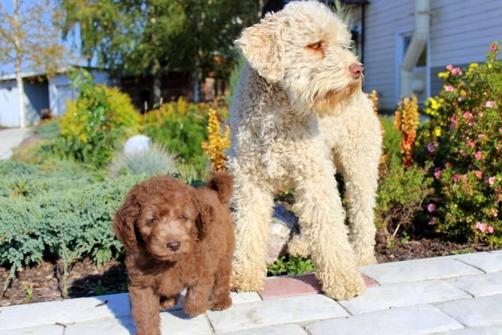 Кто такой лабрадудль: описание внешности смеси собак пуделей и лабрадоров