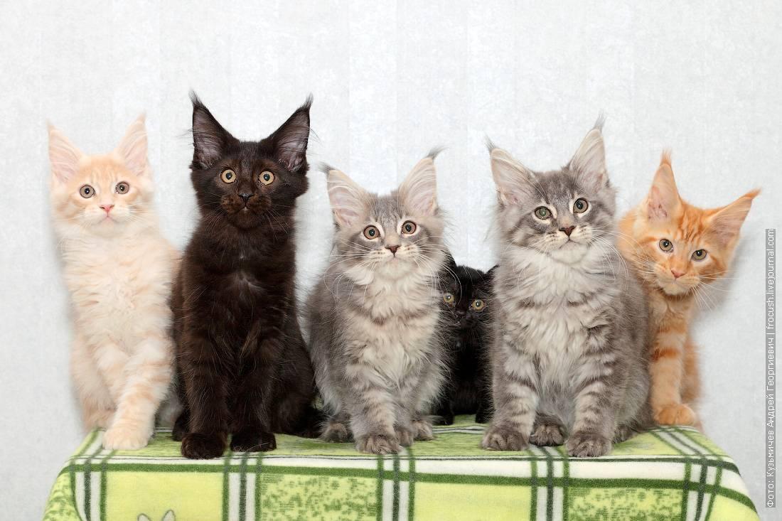Мейн-кун (maine coon) кошка: подробное описание, фото, купить, видео, цена, содержание дома