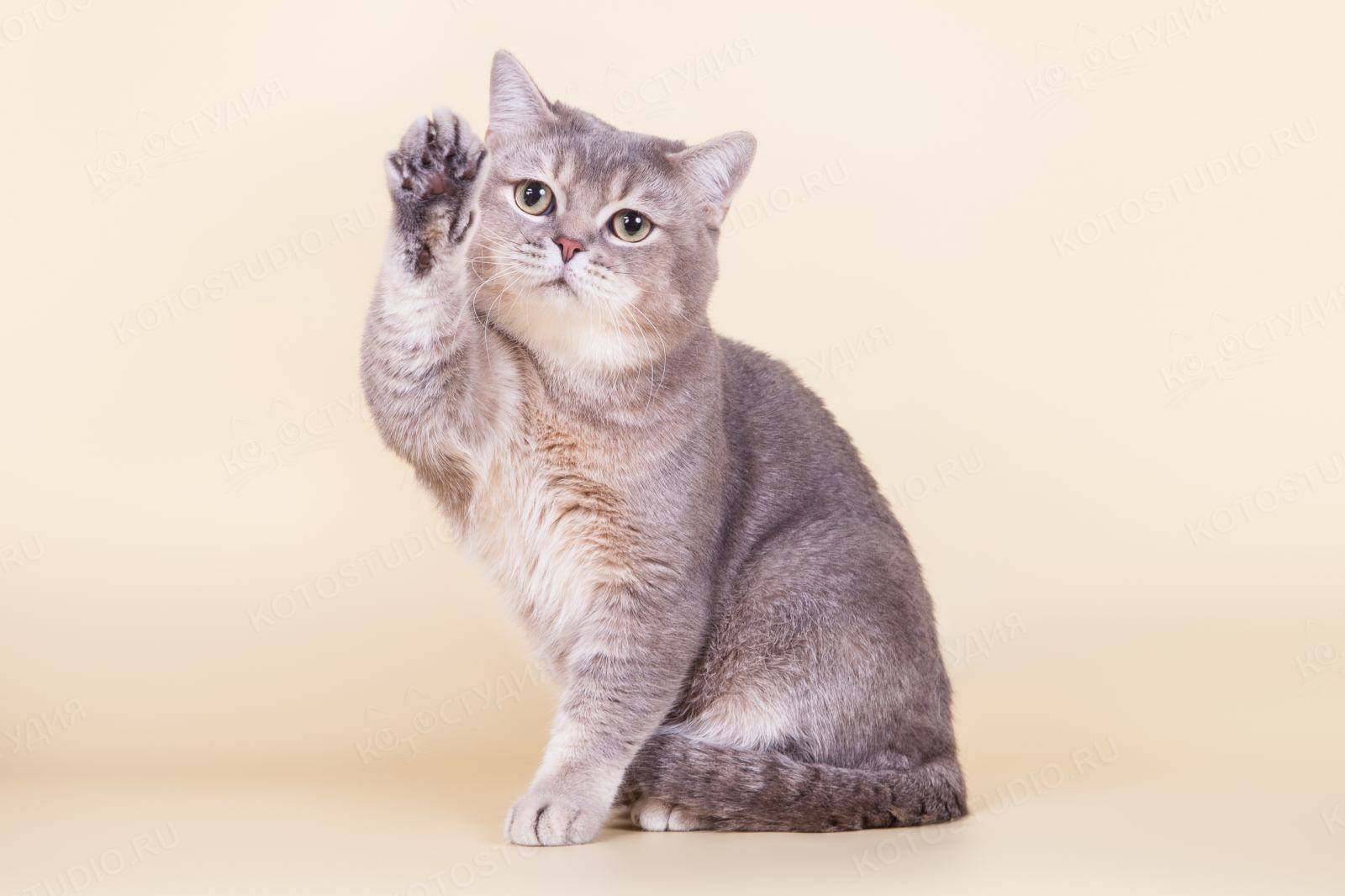 Гладкошерстные кошки   список пород с фото и названиями