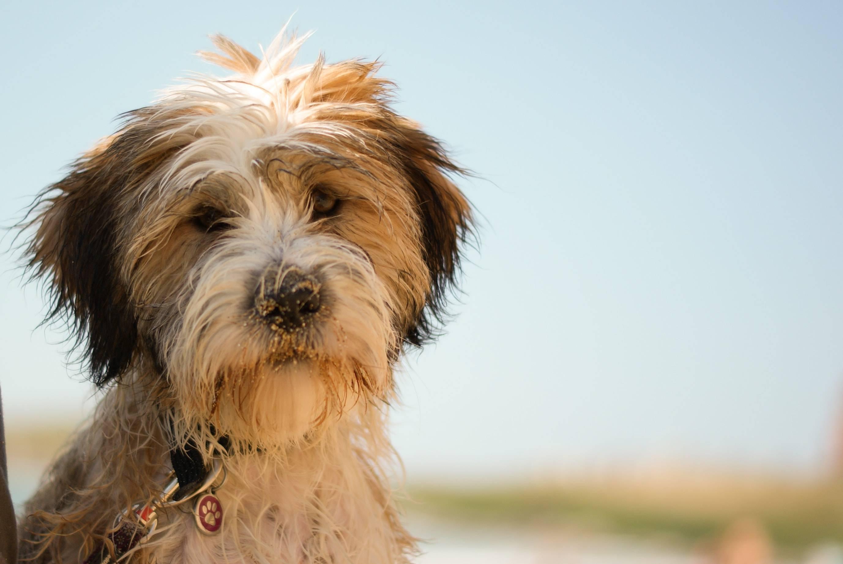 Описание породы собак тибетский терьер с отзывами и фото