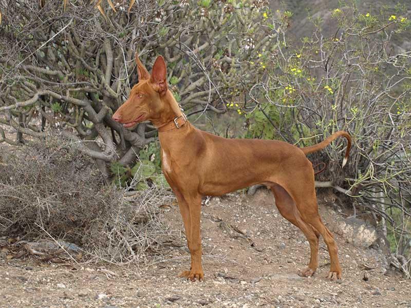 Канарский дог (канарский дог, канарский мастиф, канарская собака): фото, купить, видео, цена, содержание дома