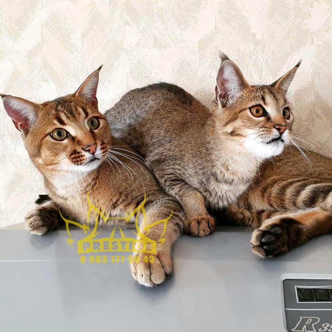 Корат – редкая порода кошек из таиланда
