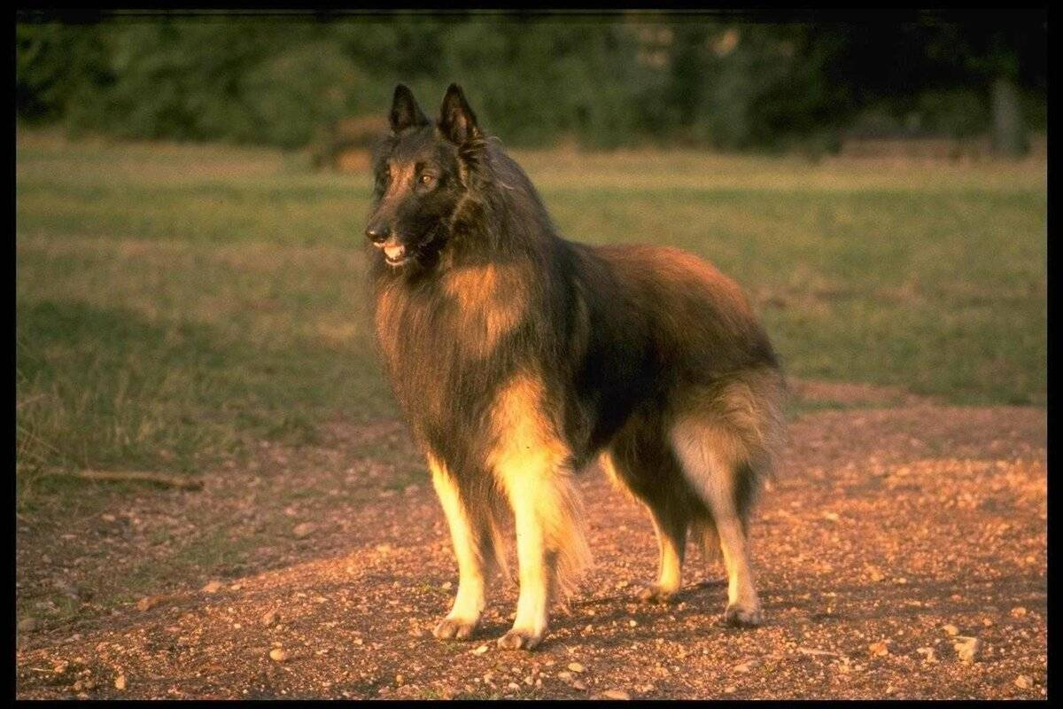 Бельгийская овчарка — несколько собак в одной: тервюрен, лакенуа, грюнендаль и малинуа ⋆ собакапедия