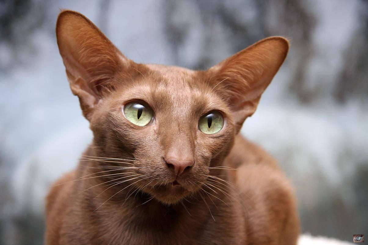 Яванская кошка или яванез: характеристика, уход, содержание - мир кошек