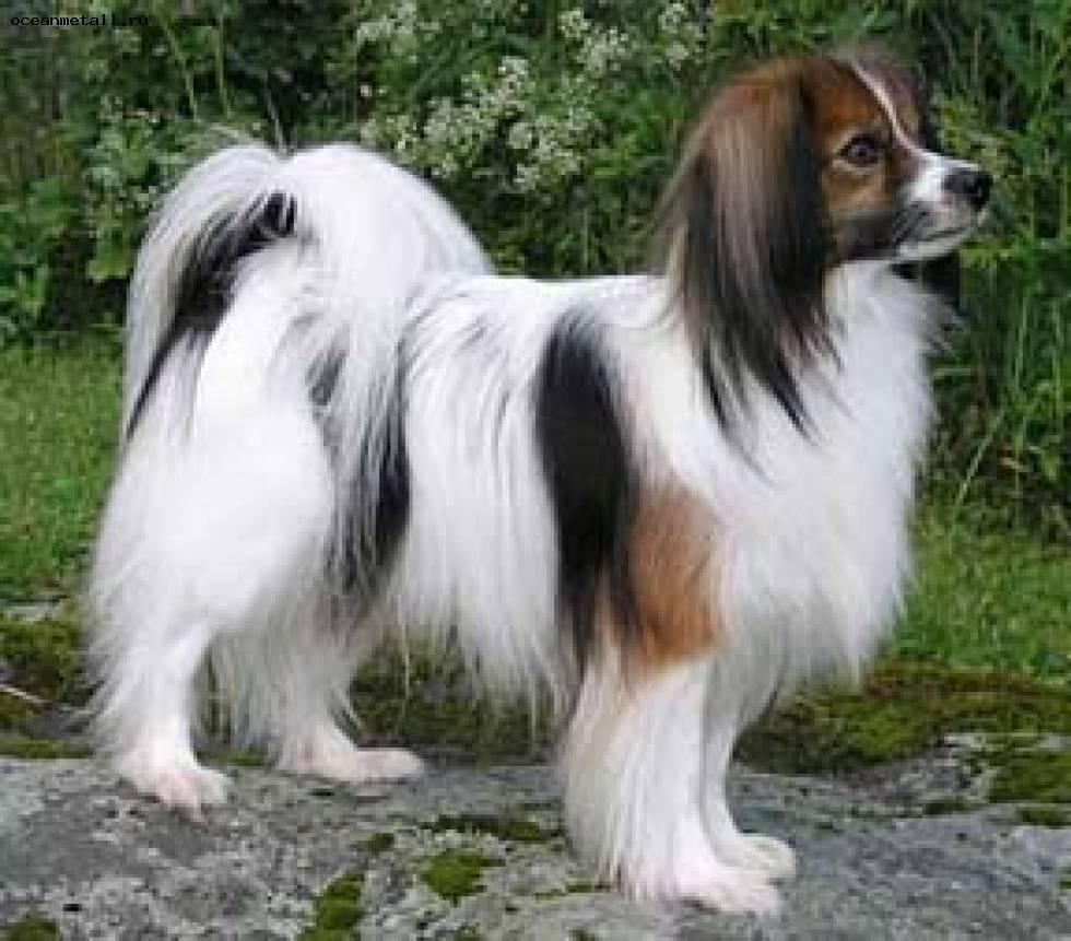 Собака фален: фото породы, описание и уход за собаками фален и папильон