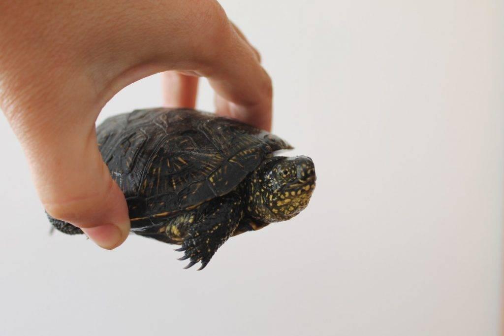 Болотная черепаха: уход и содержание в домашних условиях