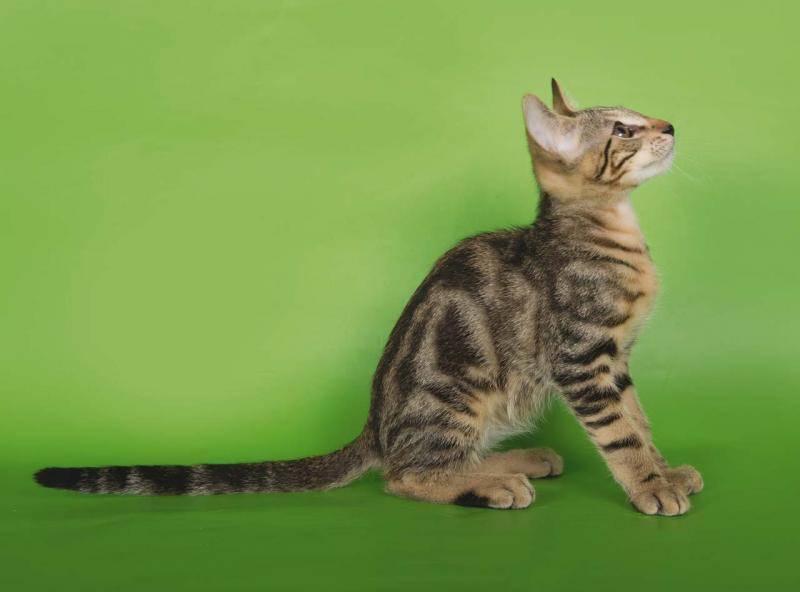 Сококе (20 фото): описание породы. какие клички подходят кошкам и котам? стандарт окраса. особенности вязки