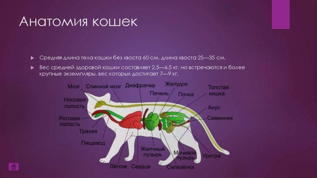 Строение кошки | кошки - кто они?