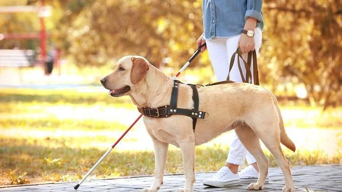 Пёс какой породы может стать поводырём для слепых: названия собак