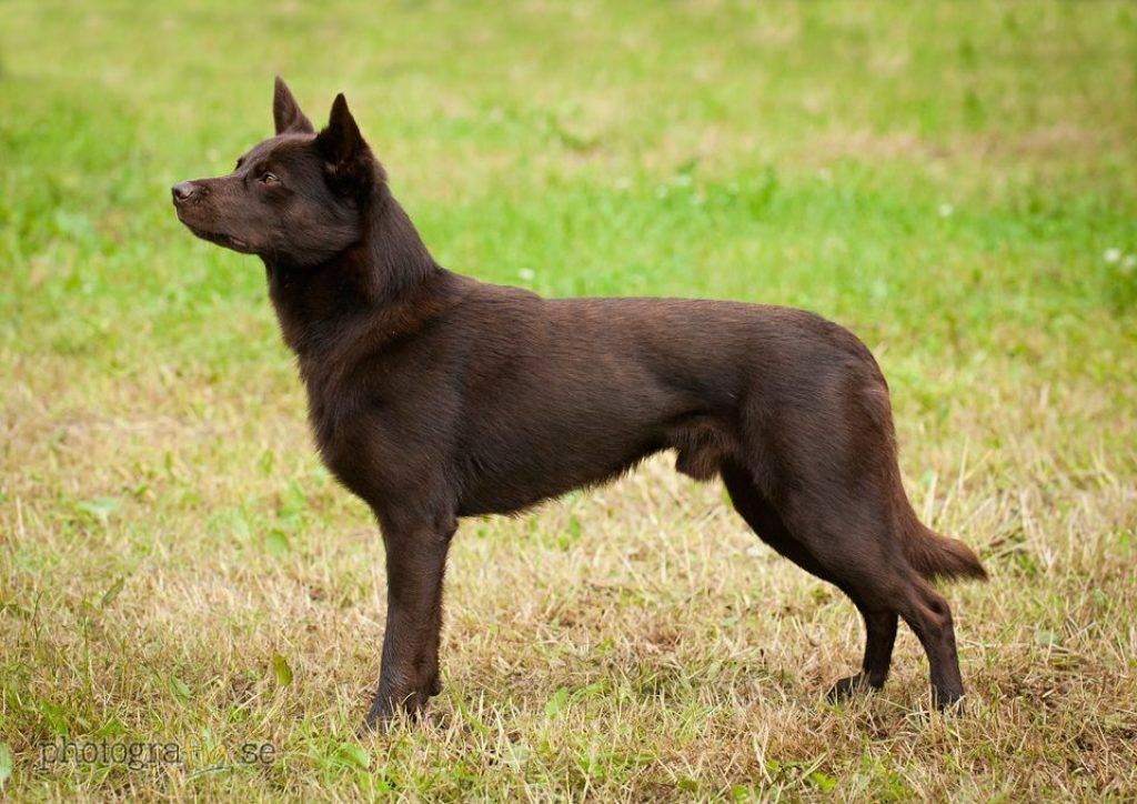 Келпи порода собак. описание, особенности, уход и цена келпи   животный мир