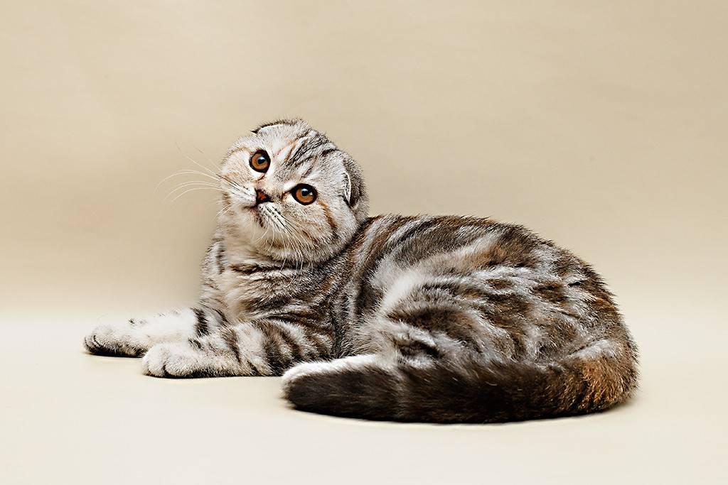 О шотландских вислоухих котах с рыжим окрасом