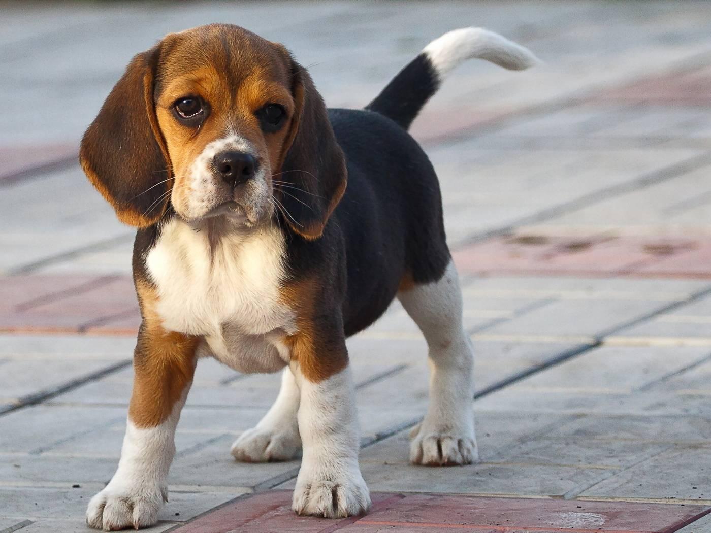 Бигли: харьер, английский, американский, европейский виды, маленькие (мини), карликовые собаки породы, их описание и фото, а также бывает ли черный окрас, биколор?