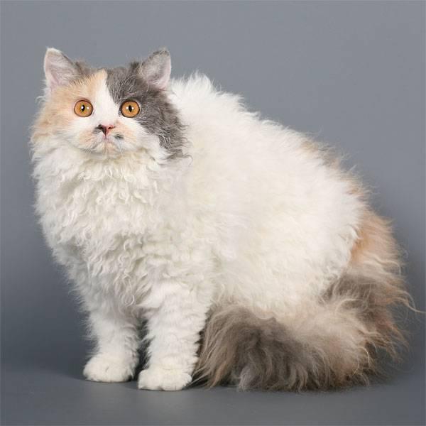 Американская короткошерстная кошка: 95 фото и видео советы по выбору породистой кошки