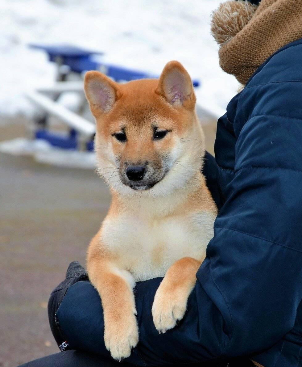 Сиба-ину: размер и рост взрослой собаки в холке и сколько весит шиба-ину, а также что делать если развитие отстает от нормы