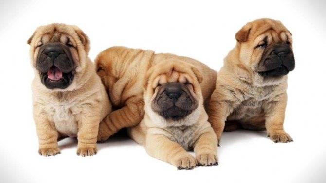 Что такое метис у собак