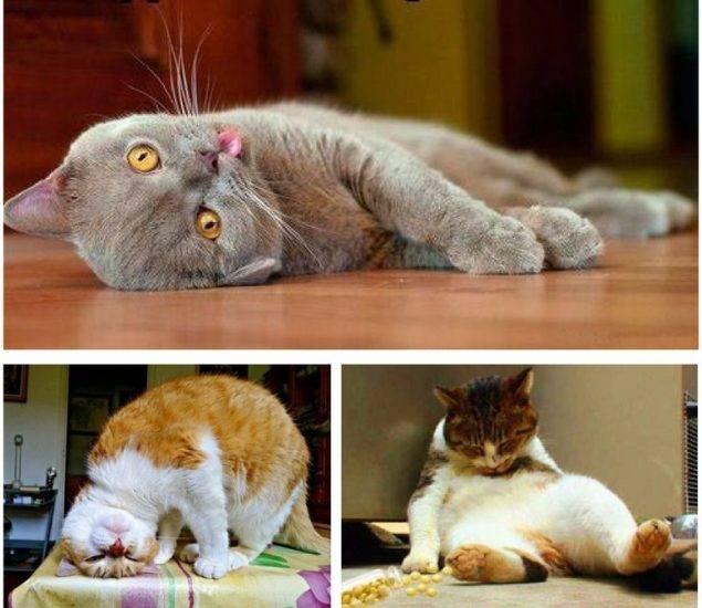 Почему коты и кошки любят валерьянку: как она действует на взрослых животных, можно ли дать котенку, будет ли это безопасно
