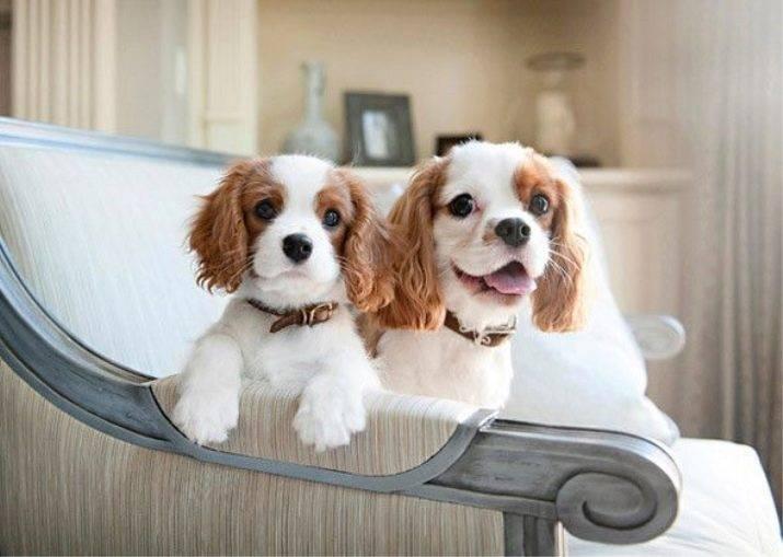 Топ самых неприхотливых собак для квартиры
