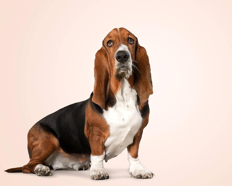 Описание породы собак басетхаунт, стандартные размеры басэта хаунда и его фото