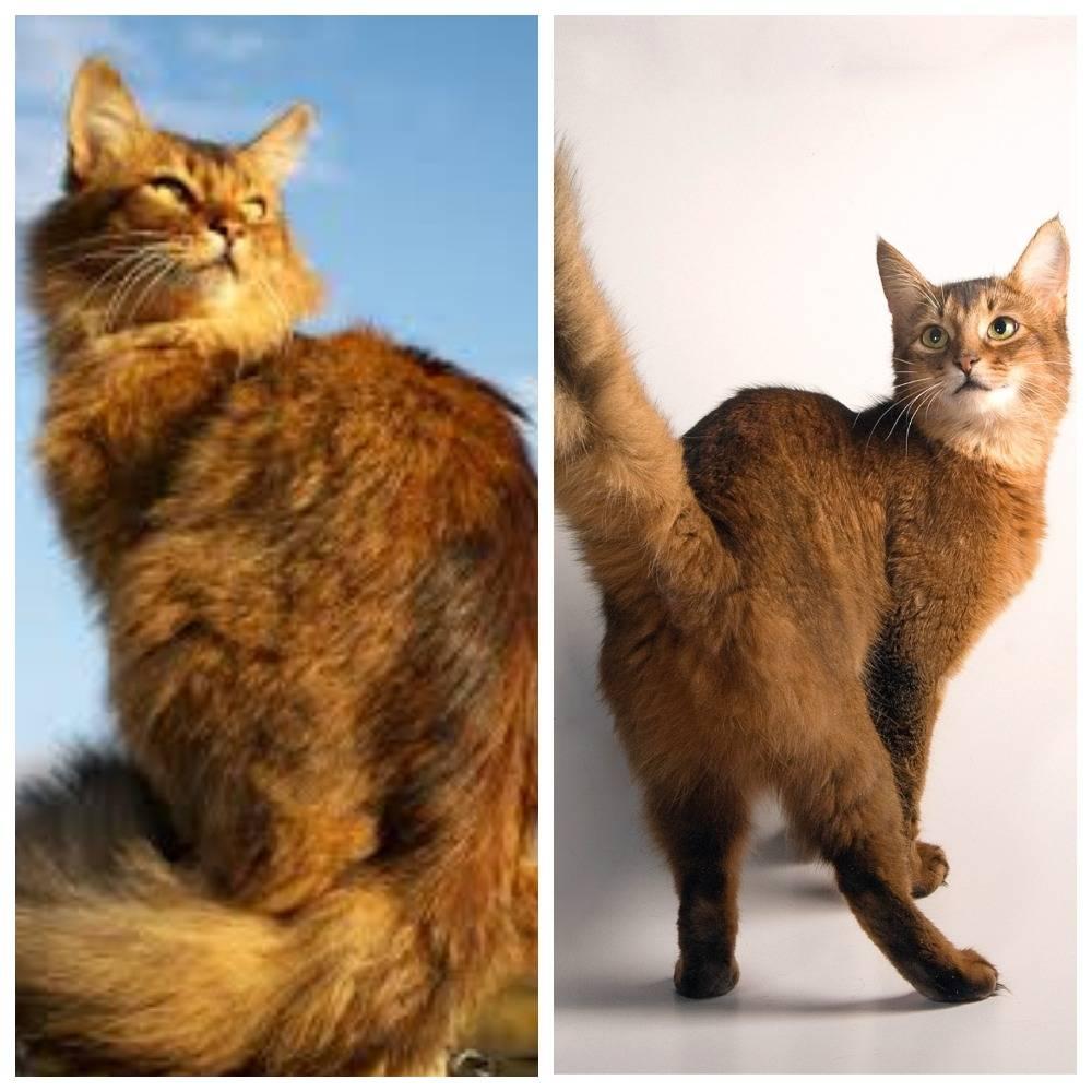 Сомалийская кошка: полное описание породы, отзывы (фото и видео)