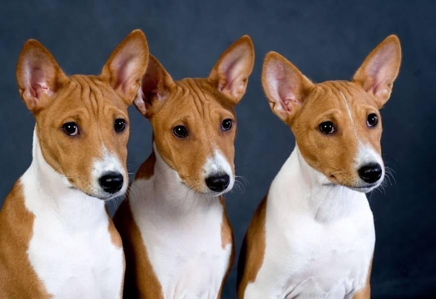 Порода собак, которая не лает. басенджи — порода собак, которые никогда не лают