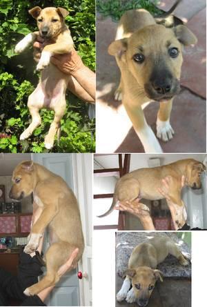 Как определить породу собаки по щенку: инструкция с фото