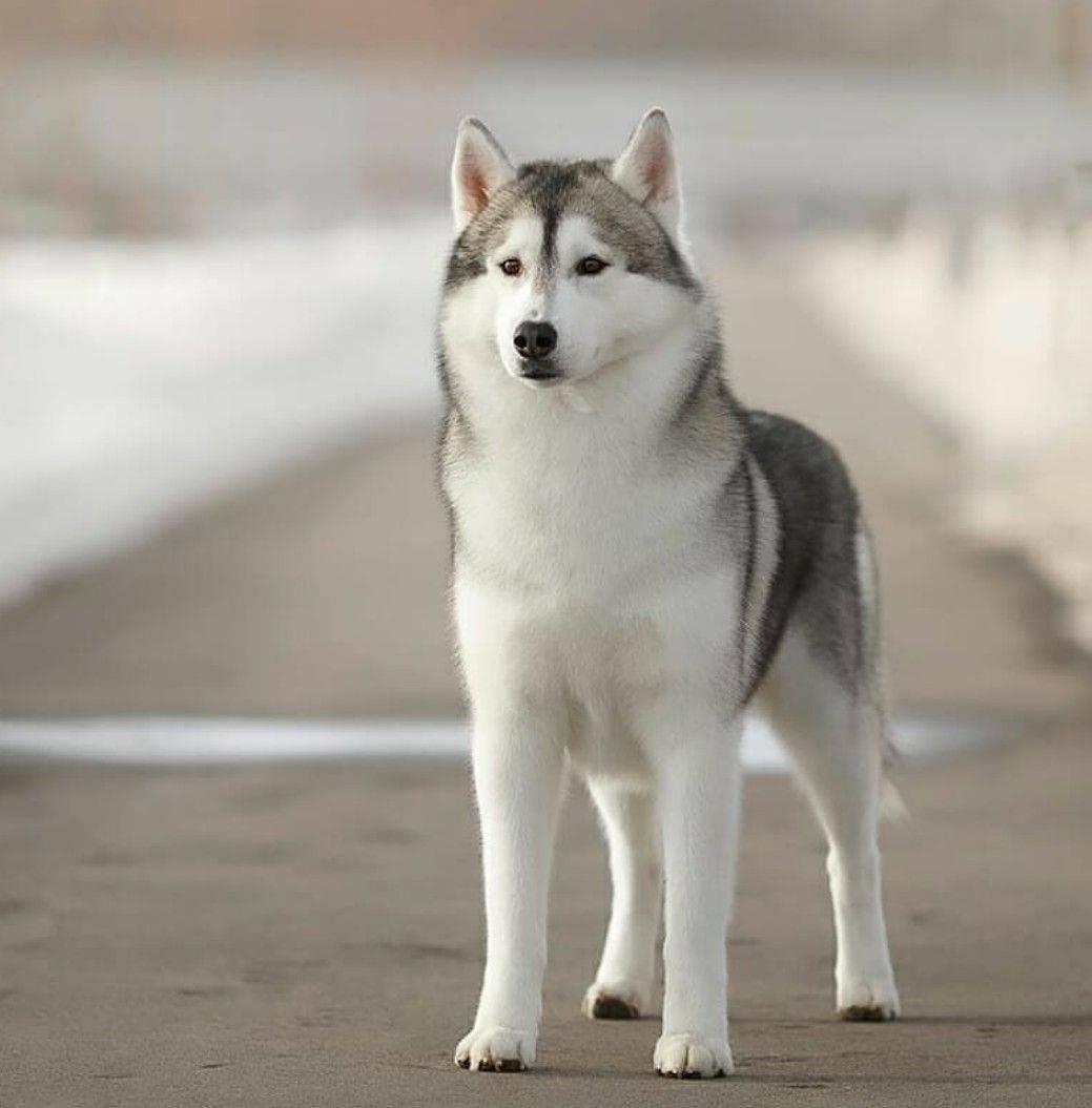 Список пород собак, похожих на волков.